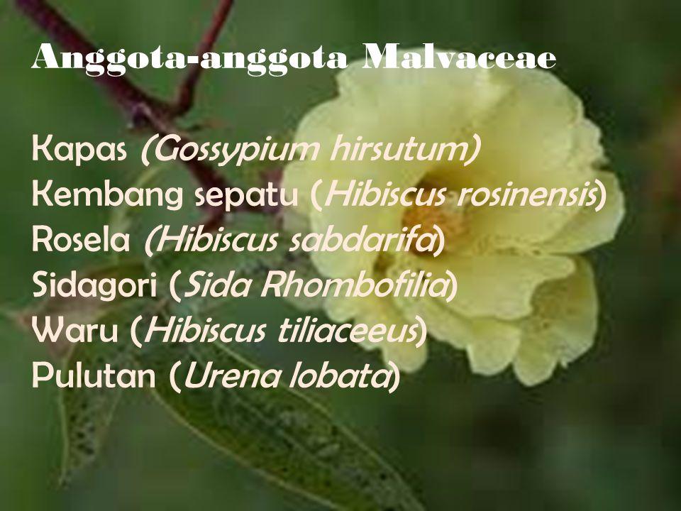 Anggota-anggota Malvaceae Kapas (Gossypium hirsutum) Kembang sepatu (Hibiscus rosinensis) Rosela (Hibiscus sabdarifa) Sidagori (Sida Rhombofilia) Waru (Hibiscus tiliaceeus) Pulutan (Urena lobata)