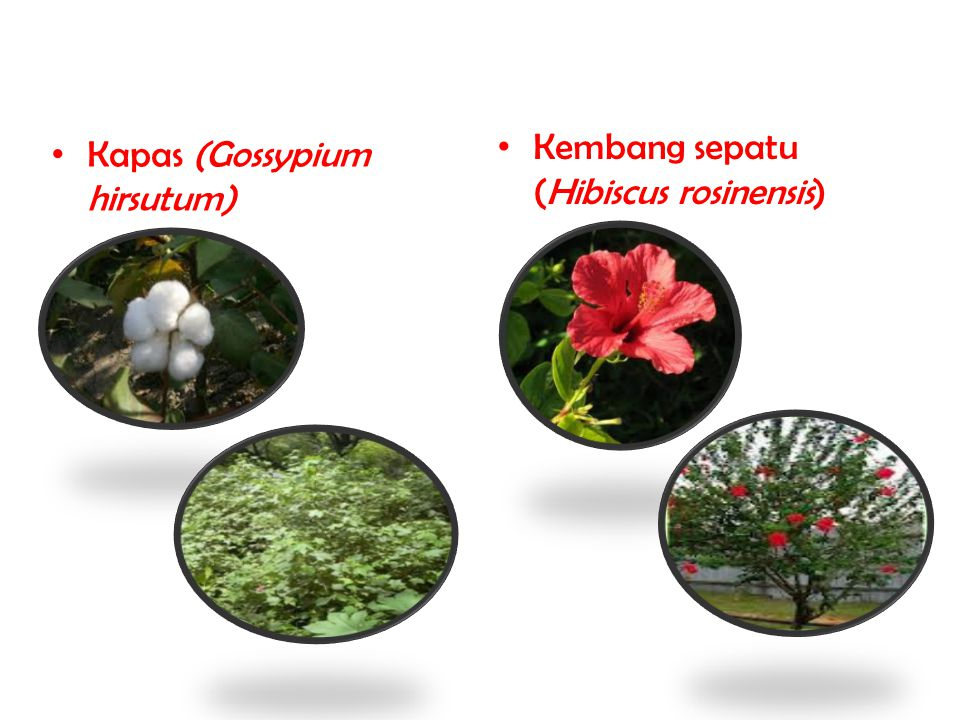 Kembang sepatu (Hibiscus rosinensis)