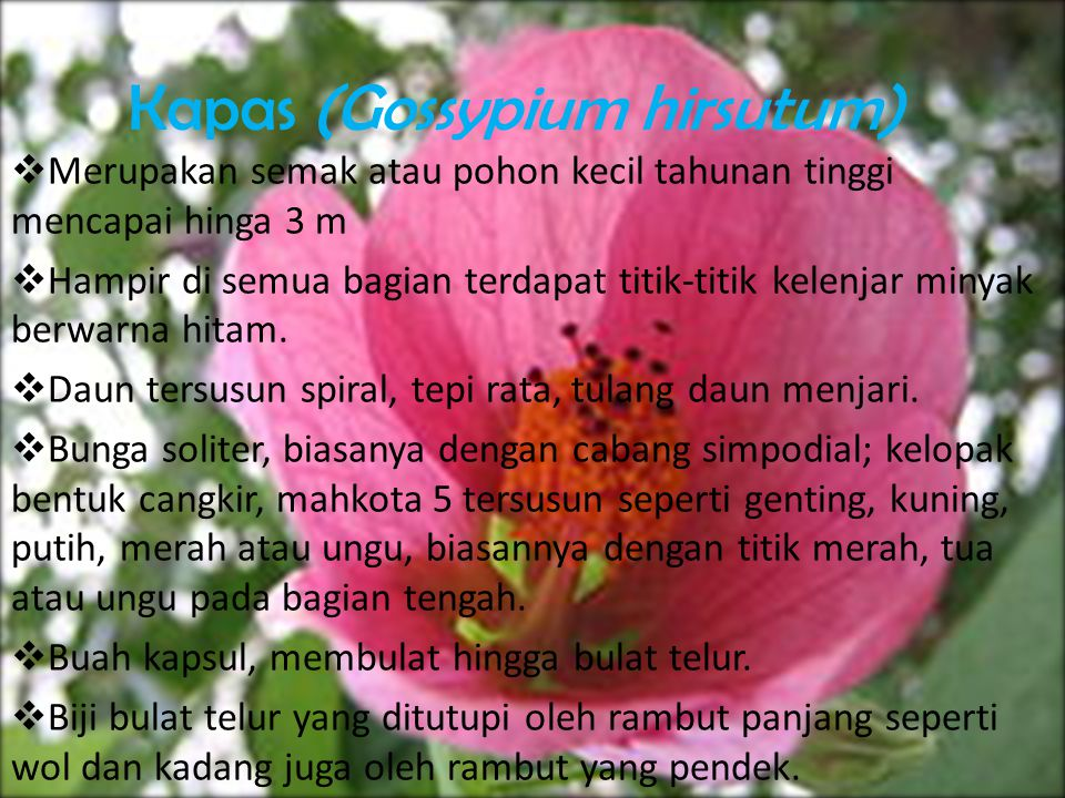 Kapas (Gossypium hirsutum)