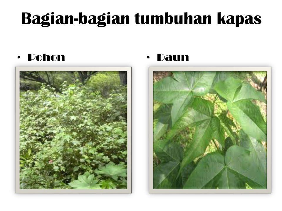 Bagian-bagian tumbuhan kapas