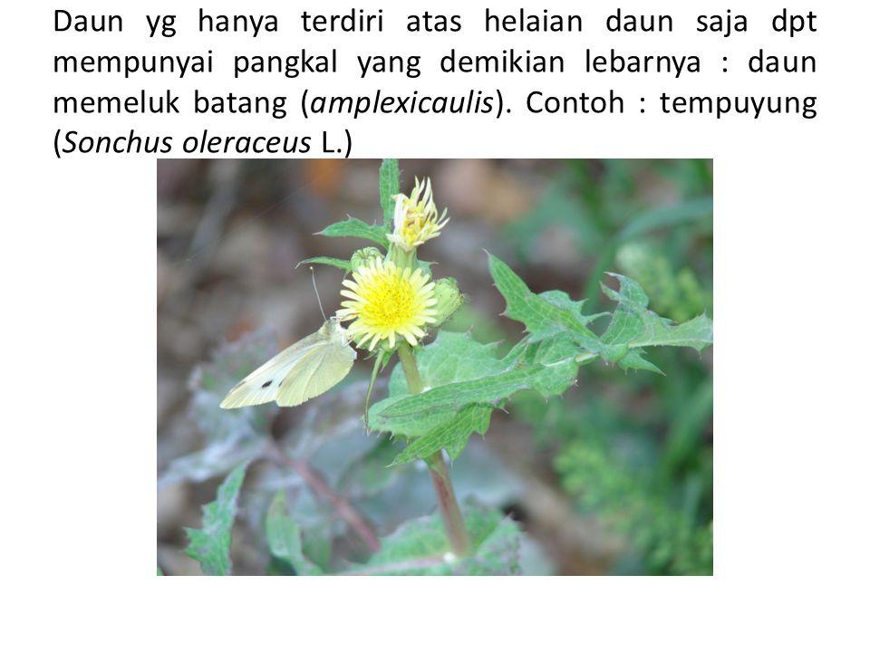 Daun yg hanya terdiri atas helaian daun saja dpt mempunyai pangkal yang demikian lebarnya : daun memeluk batang (amplexicaulis).