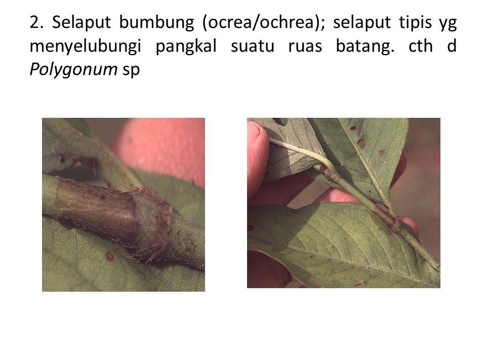 2. Selaput bumbung (ocrea/ochrea); selaput tipis yg menyelubungi pangkal suatu ruas batang.