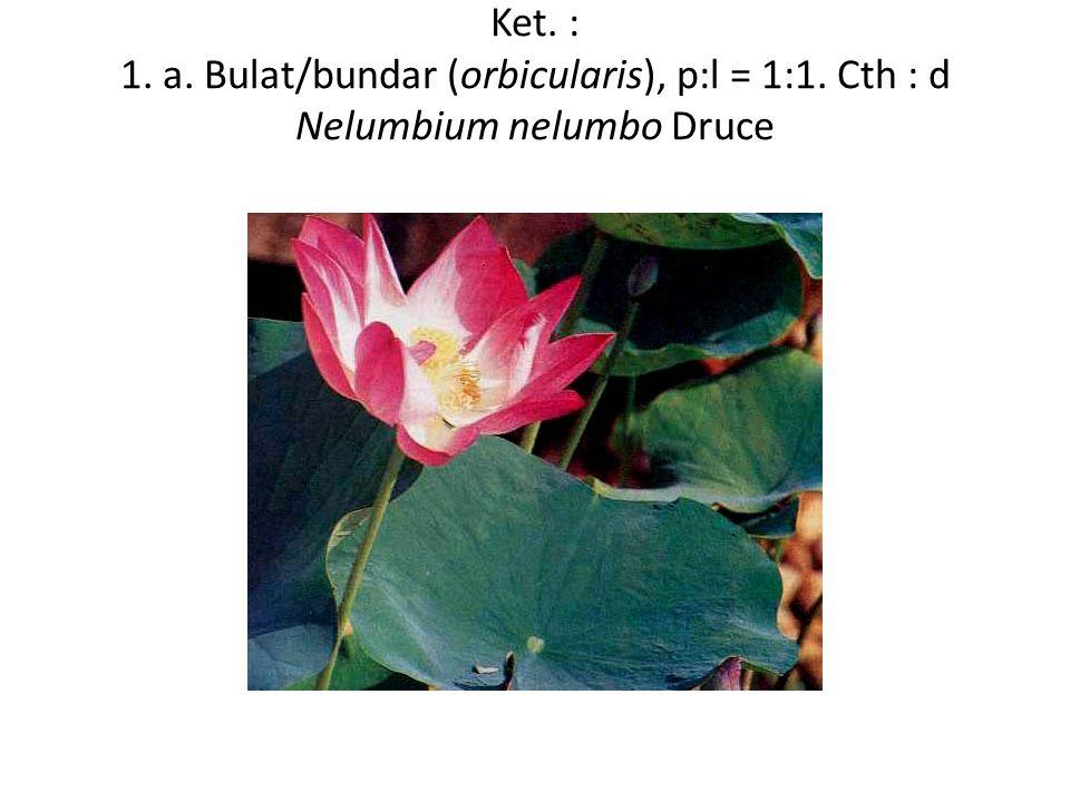 Ket. : 1. a. Bulat/bundar (orbicularis), p:l = 1:1