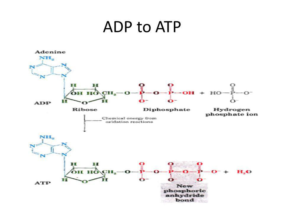 ADP to ATP