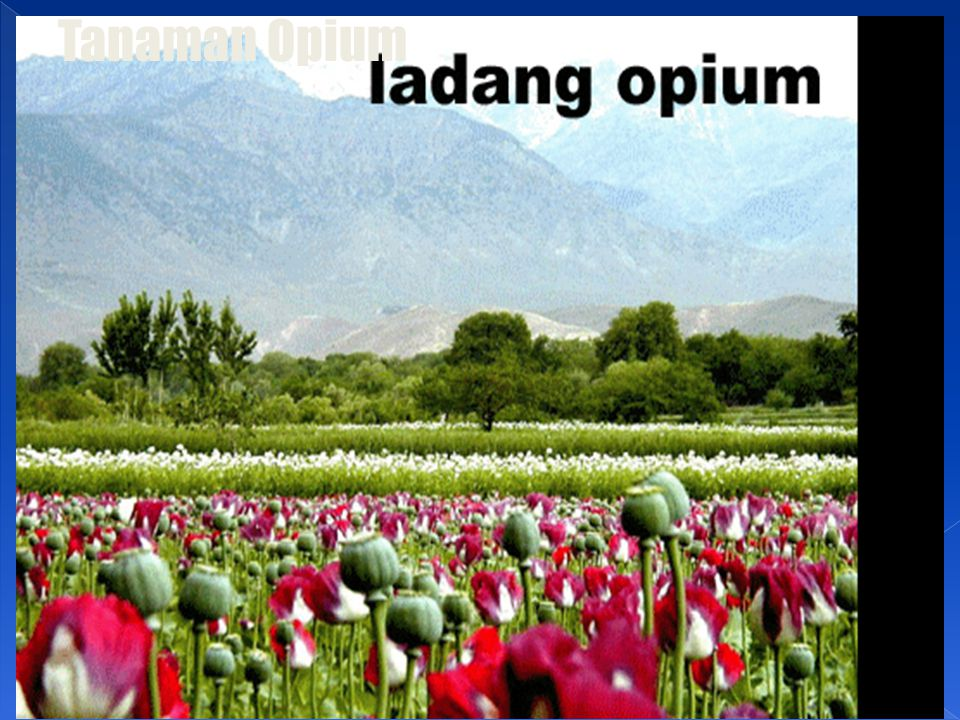 Tanaman Opium