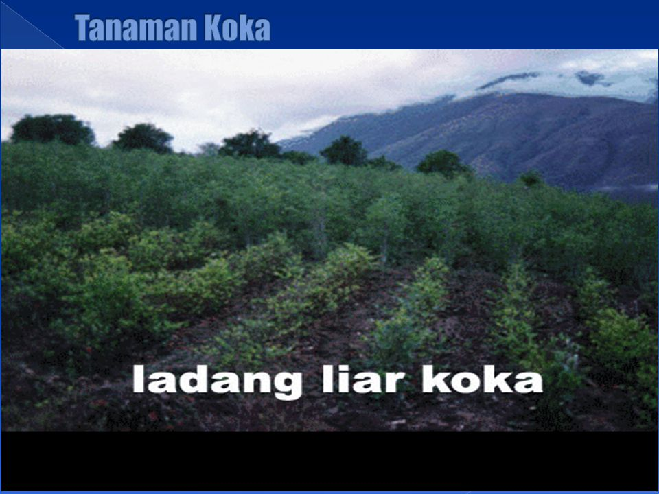 Tanaman Koka