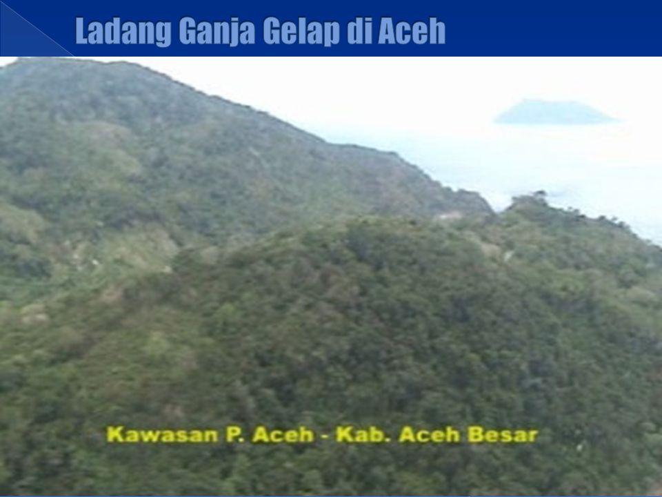 Ladang Ganja Gelap di Aceh