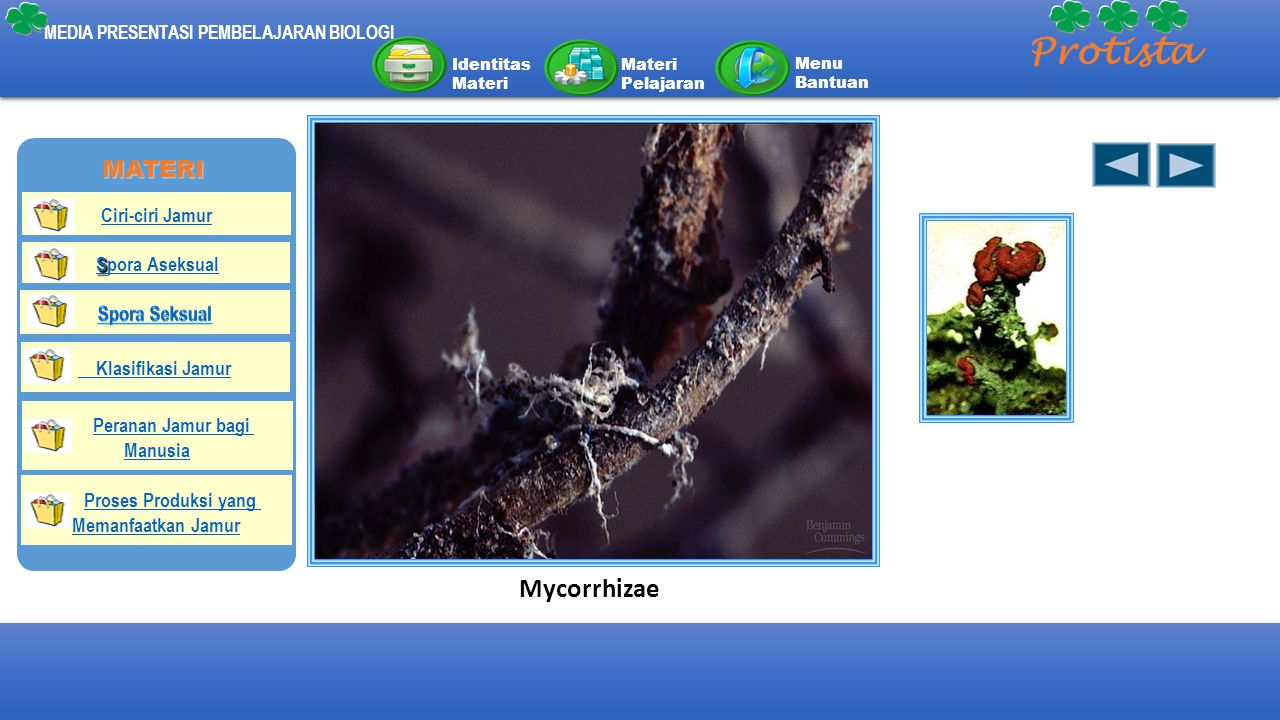 Protista Mycorrhizae MATERI Spora Aseksual Peranan Jamur bagi