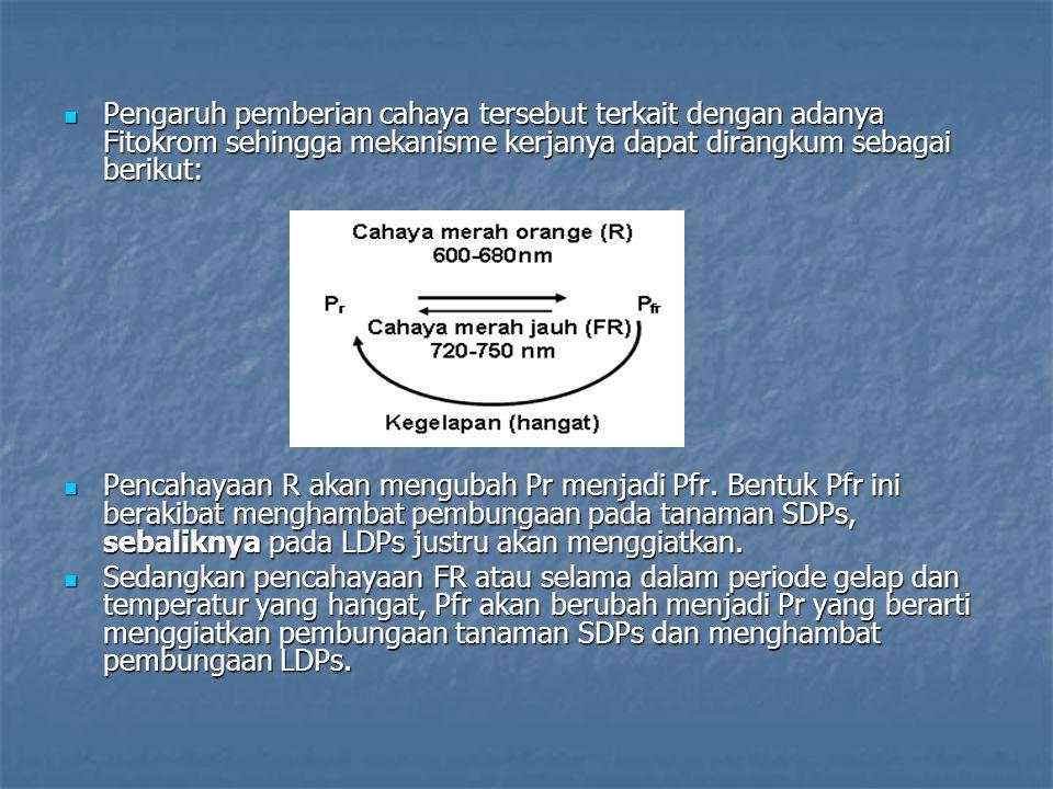 Pengaruh pemberian cahaya tersebut terkait dengan adanya Fitokrom sehingga mekanisme kerjanya dapat dirangkum sebagai berikut: