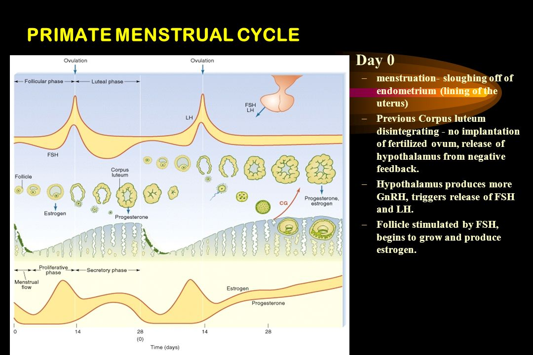 PRIMATE MENSTRUAL CYCLE