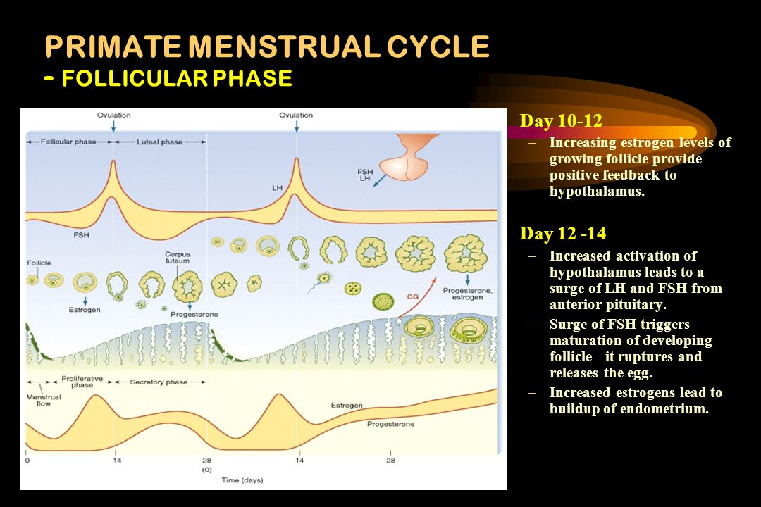 PRIMATE MENSTRUAL CYCLE - FOLLICULAR PHASE