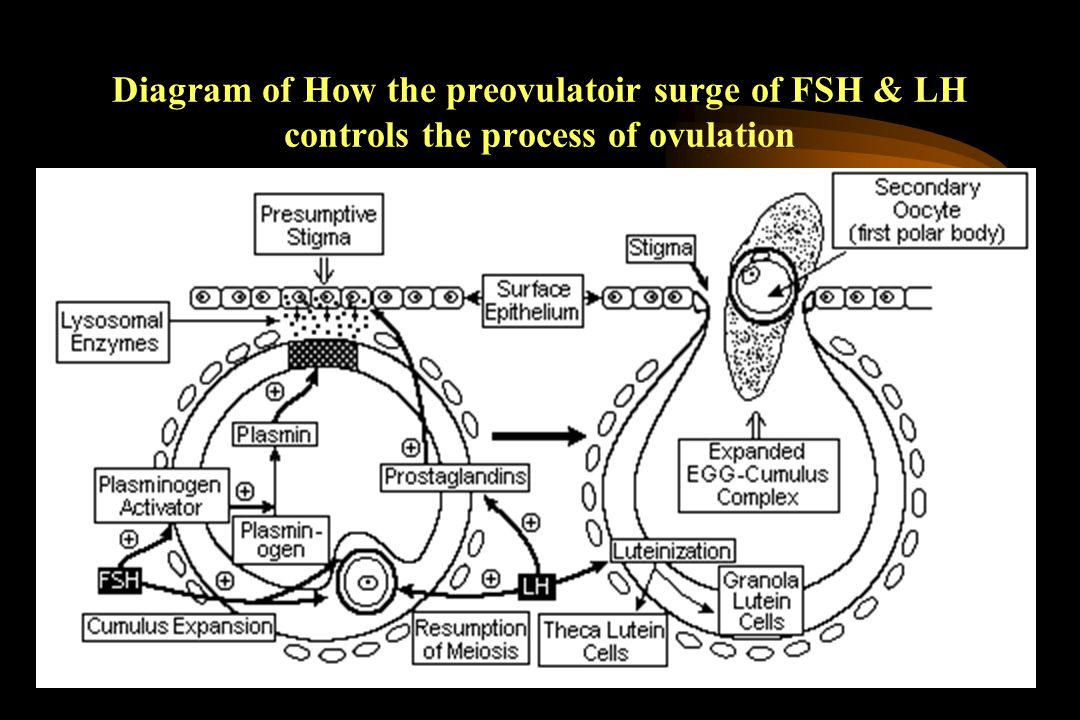 Diagram of How the preovulatoir surge of FSH & LH controls the process of ovulation