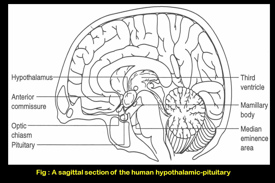 Fig : A sagittal section of the human hypothalamic-pituitary