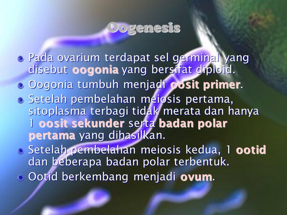 Oogenesis Pada ovarium terdapat sel germinal yang disebut oogonia yang bersifat diploid. Oogonia tumbuh menjadi oosit primer.