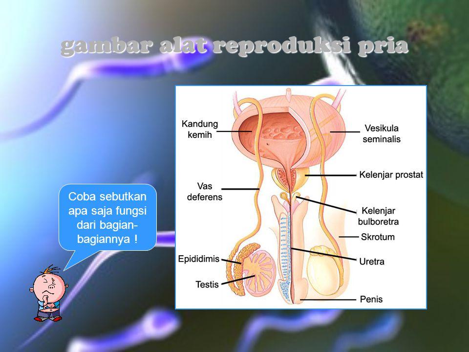 gambar alat reproduksi pria