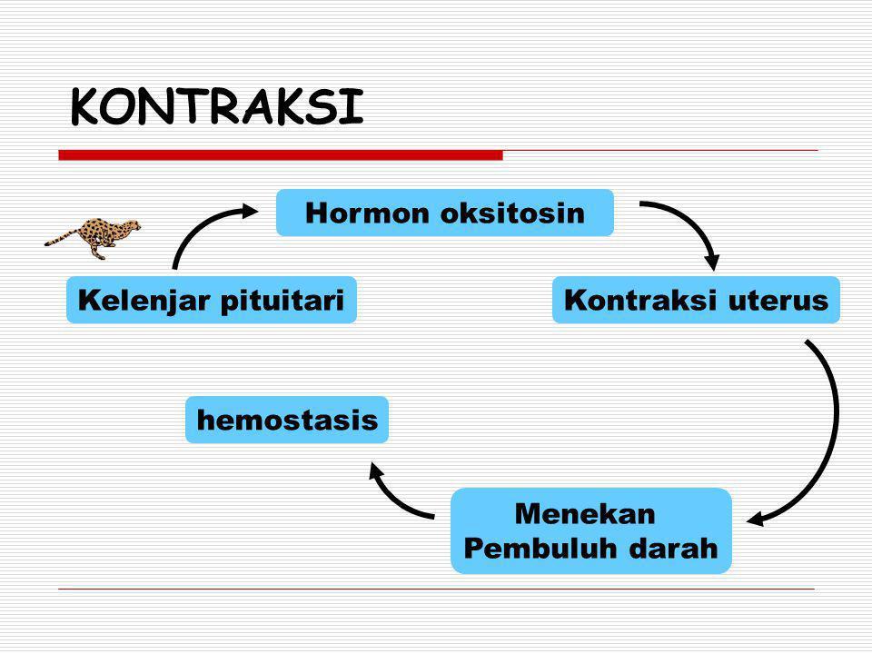 KONTRAKSI Hormon oksitosin Kelenjar pituitari Kontraksi uterus