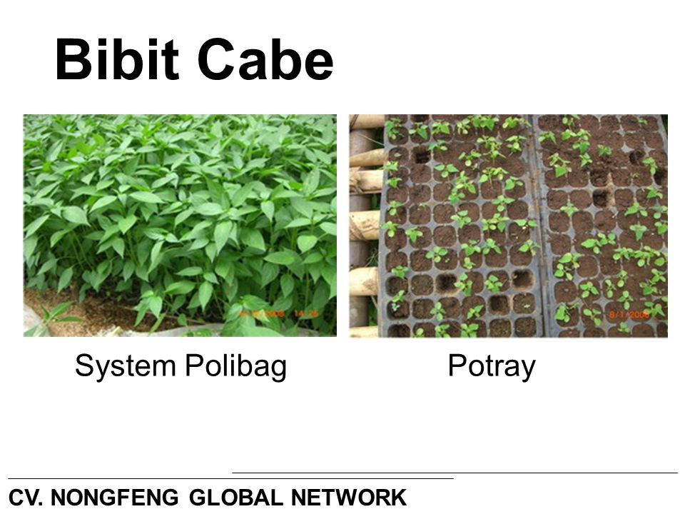 Bibit Cabe System Polibag Potray CV. NONGFENG GLOBAL NETWORK