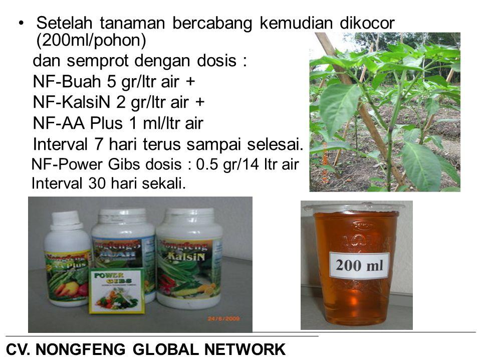 Setelah tanaman bercabang kemudian dikocor (200ml/pohon)