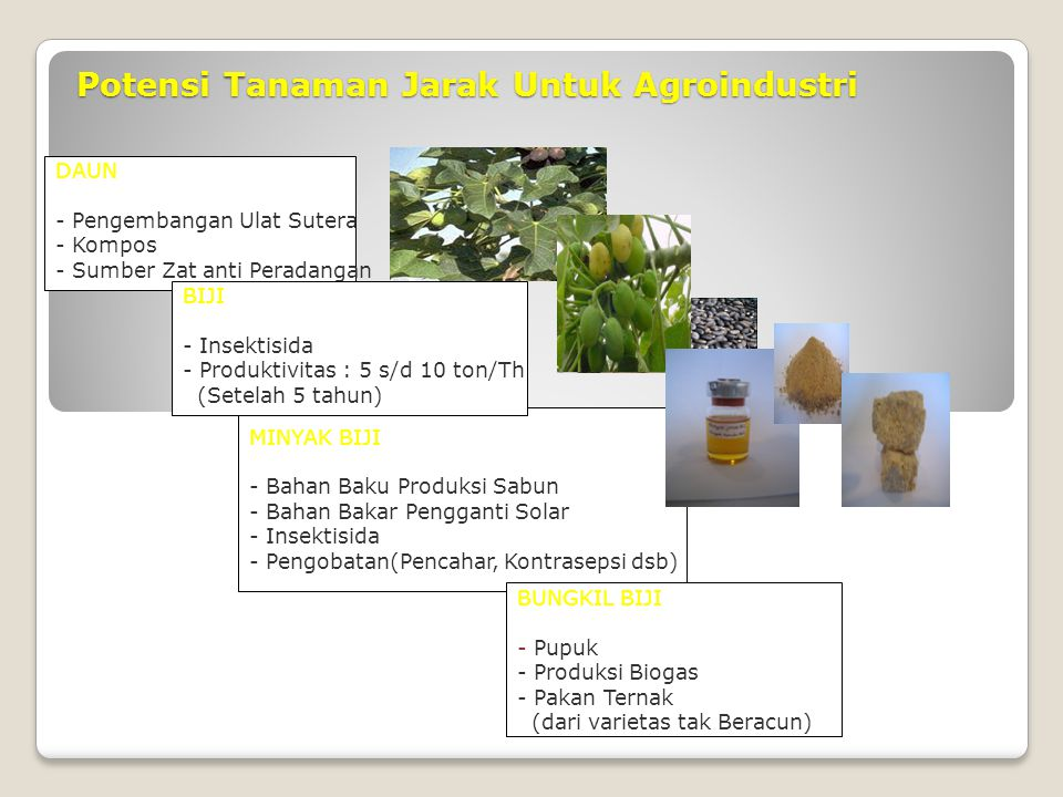 Potensi Tanaman Jarak Untuk Agroindustri
