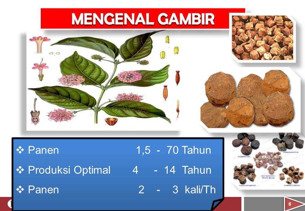 MENGENAL GAMBIR Panen 1,5 - 70 Tahun Produksi Optimal 4 - 14 Tahun