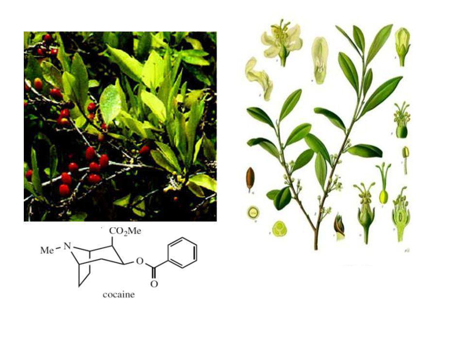 Erythroxylum coca Kandungan alkaloid: 0,7-2,5% (40-50% adalah (-)-Kokain