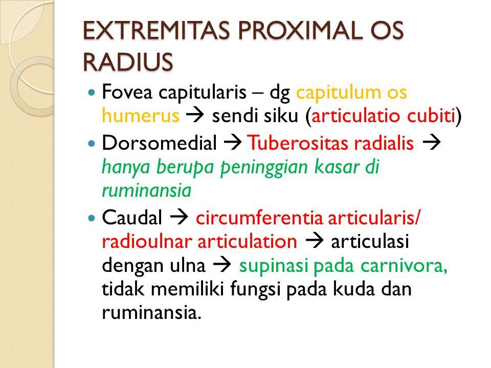 EXTREMITAS PROXIMAL OS RADIUS