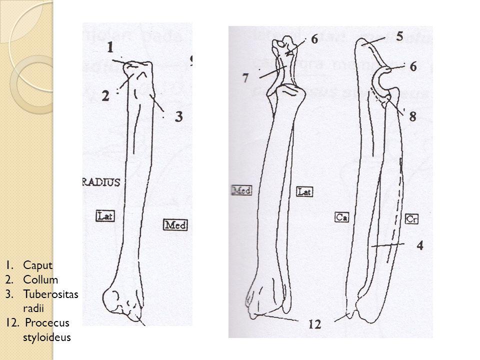 Caput Collum Tuberositas radii 12. Procecus styloideus