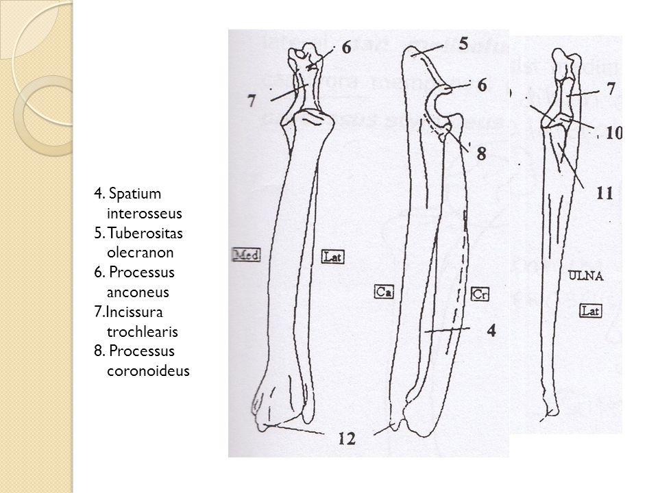4. Spatium interosseus 5. Tuberositas olecranon.
