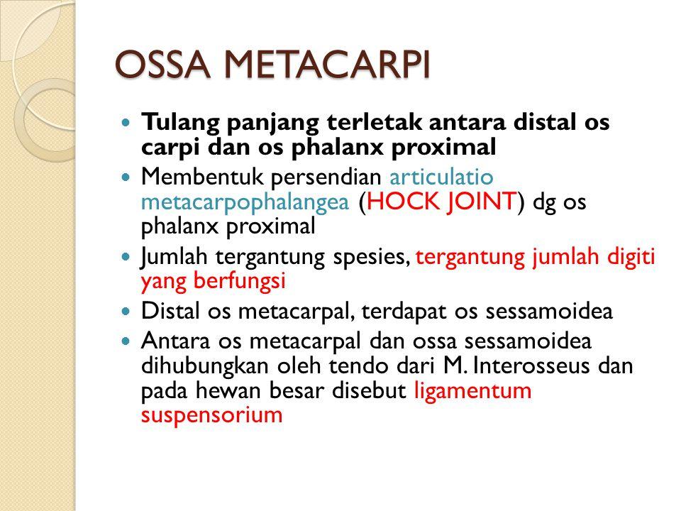 OSSA METACARPI Tulang panjang terletak antara distal os carpi dan os phalanx proximal.