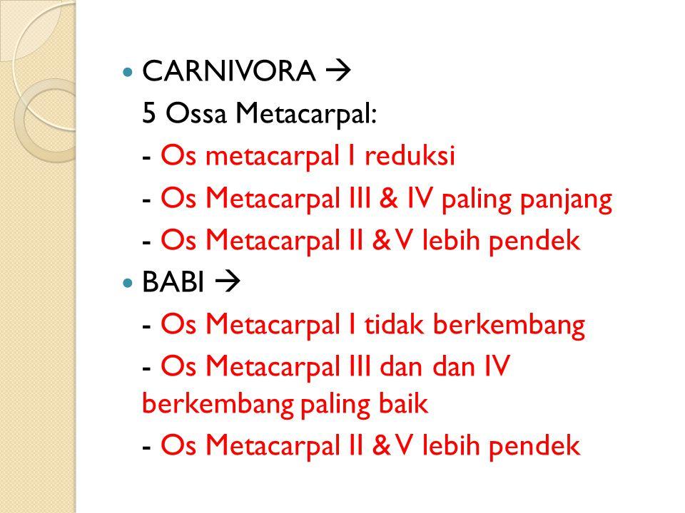 CARNIVORA  5 Ossa Metacarpal: - Os metacarpal I reduksi. - Os Metacarpal III & IV paling panjang.