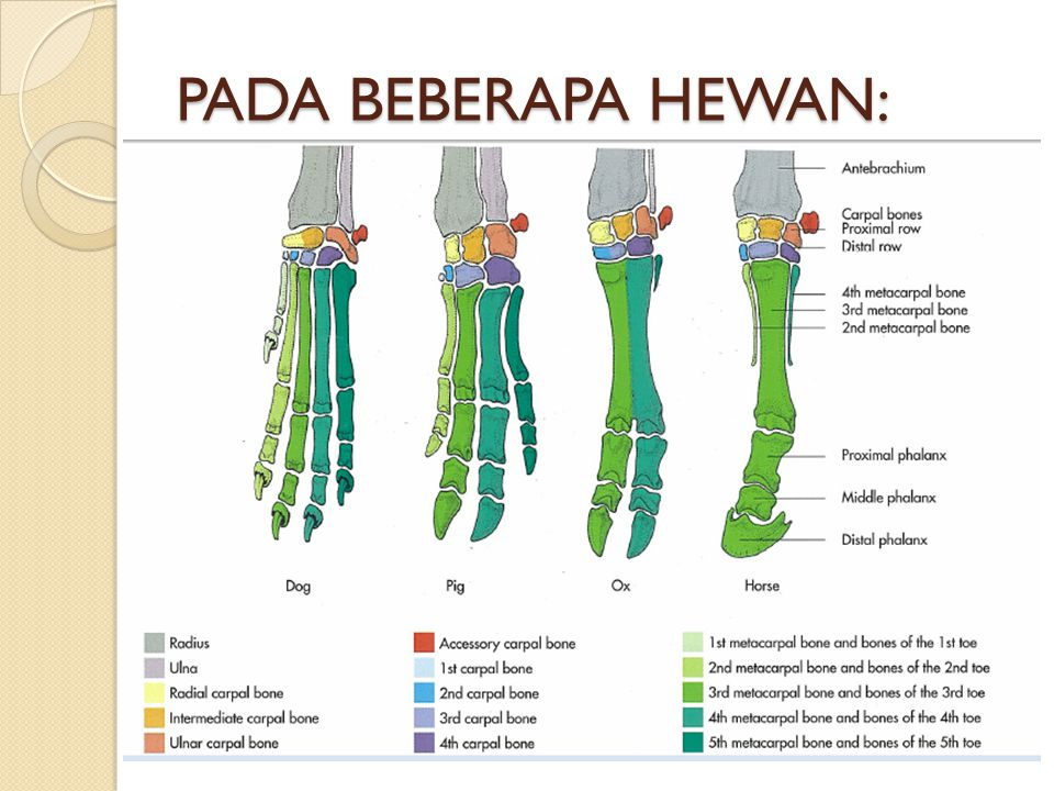 PADA BEBERAPA HEWAN: