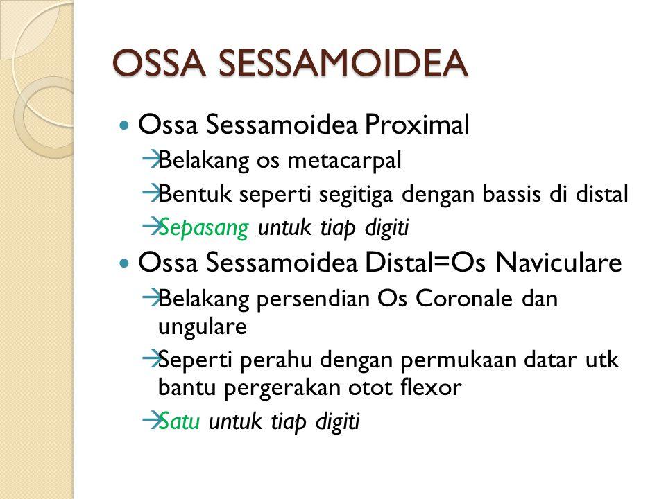 OSSA SESSAMOIDEA Ossa Sessamoidea Proximal