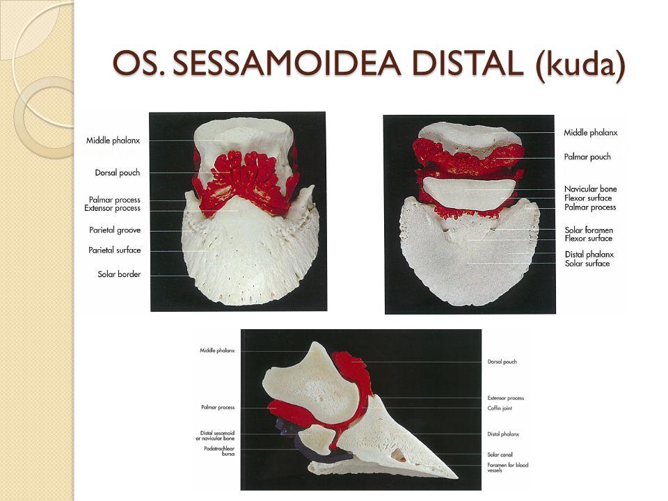 OS. SESSAMOIDEA DISTAL (kuda)