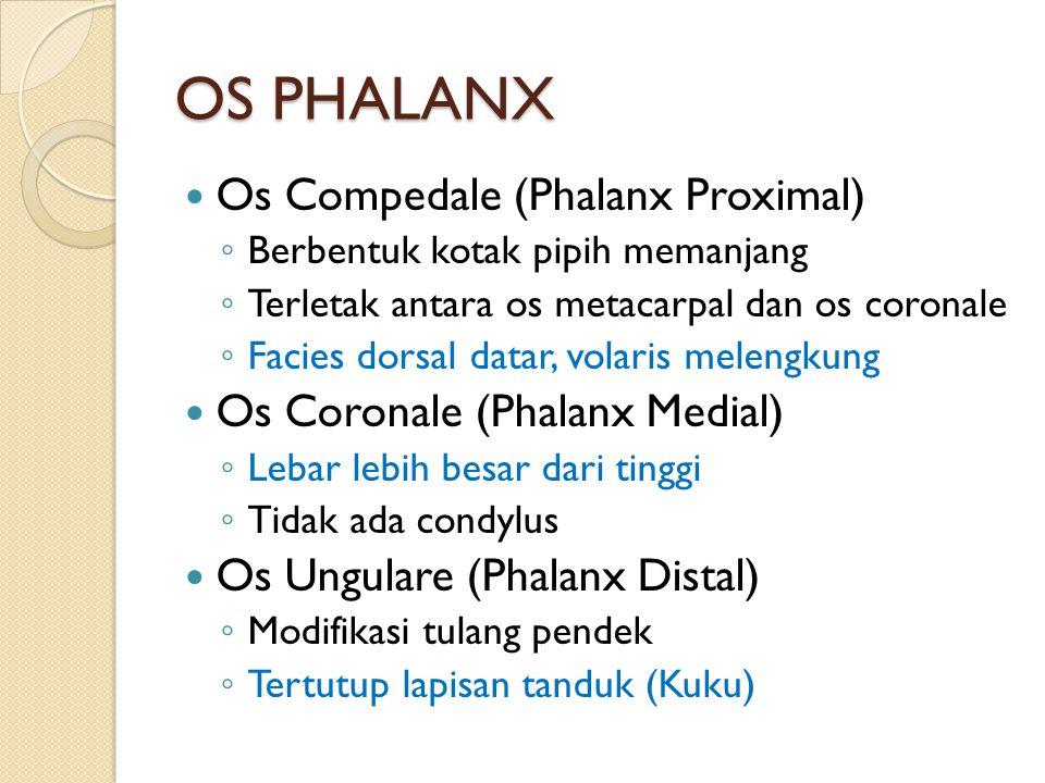 OS PHALANX Os Compedale (Phalanx Proximal)