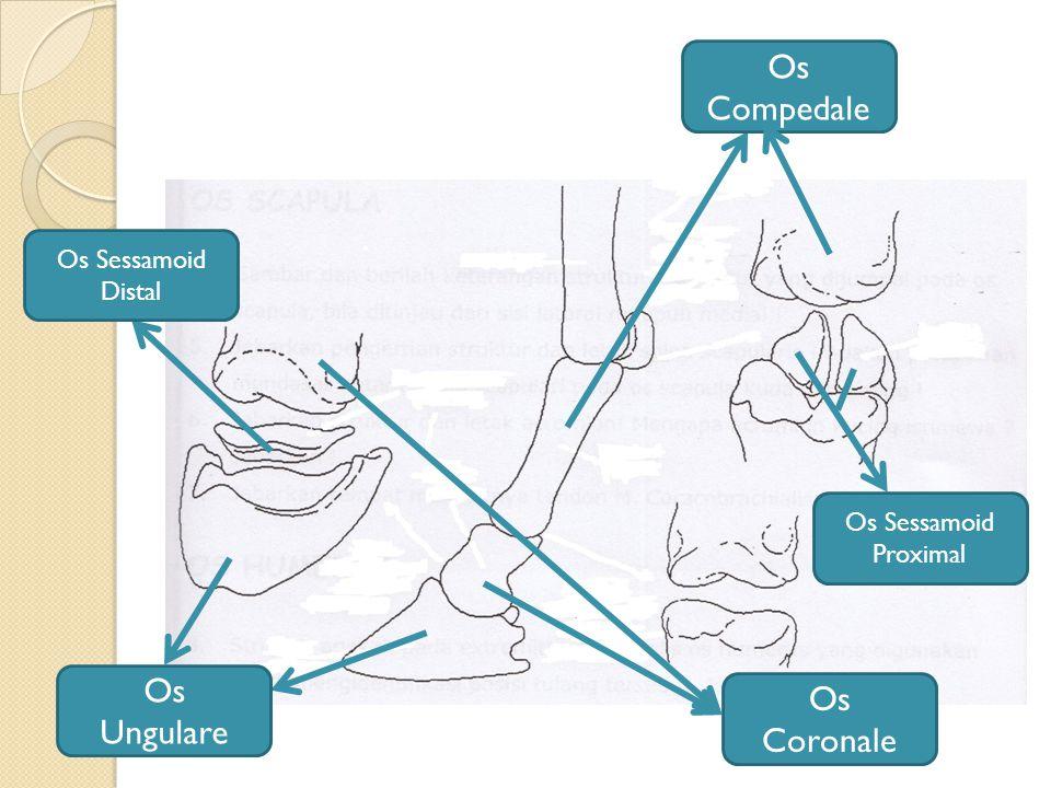 Os Compedale Os Ungulare Os Coronale Os Sessamoid Distal
