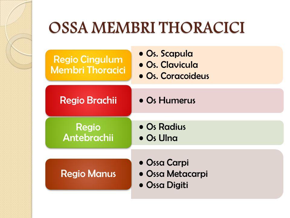 Regio Cingulum Membri Thoracici