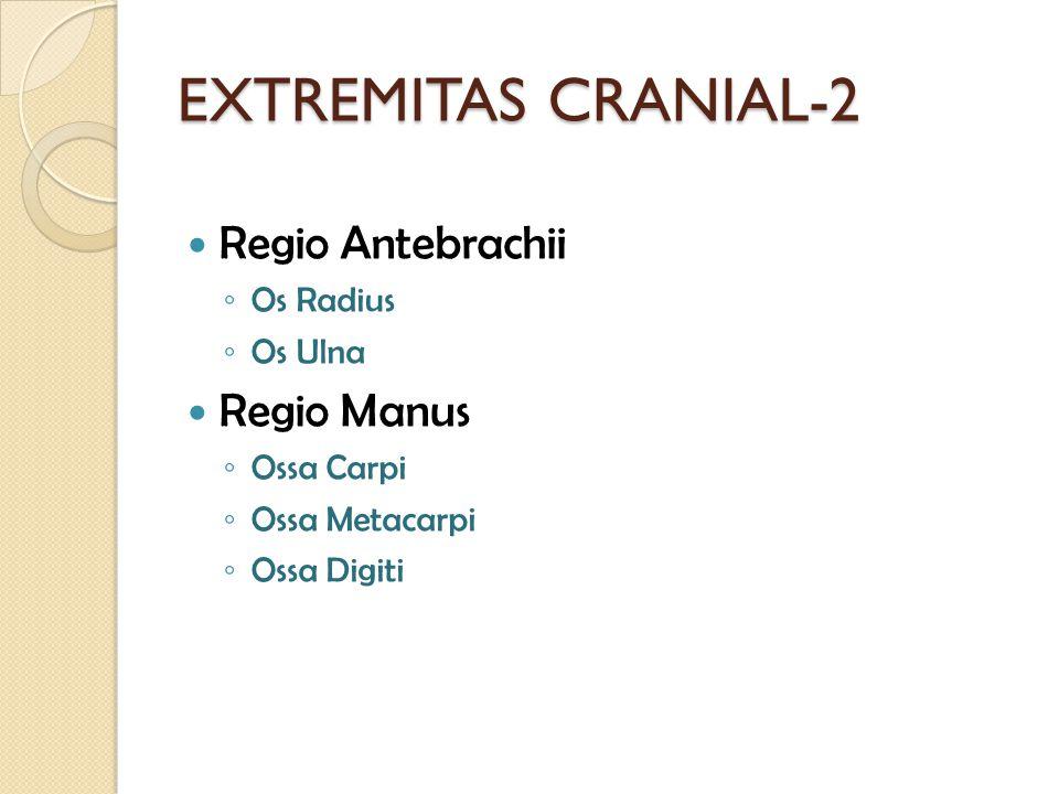 EXTREMITAS CRANIAL-2 Regio Antebrachii Regio Manus Os Radius Os Ulna