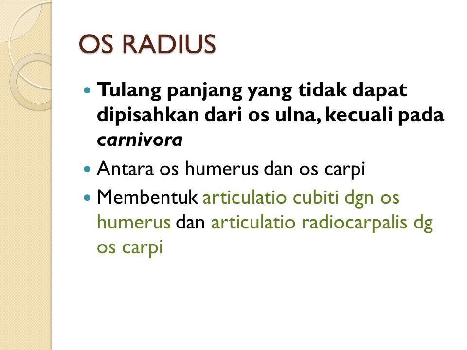 OS RADIUS Tulang panjang yang tidak dapat dipisahkan dari os ulna, kecuali pada carnivora. Antara os humerus dan os carpi.
