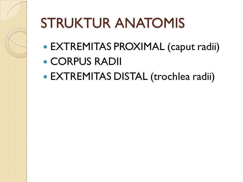 STRUKTUR ANATOMIS EXTREMITAS PROXIMAL (caput radii) CORPUS RADII