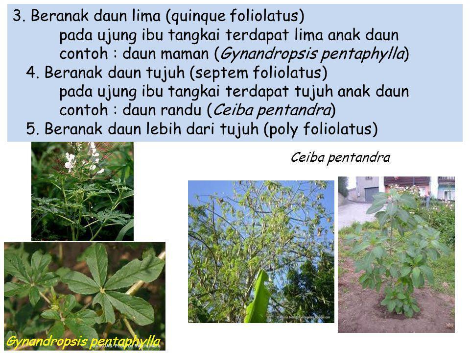 Gynandropsis pentaphylla
