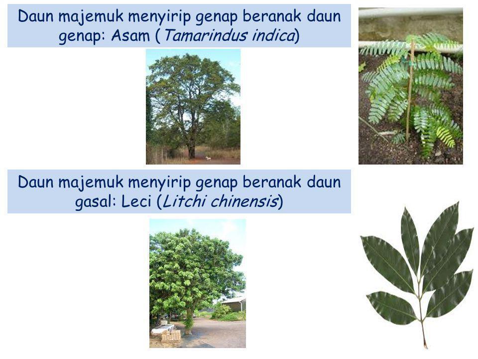 Daun majemuk menyirip genap beranak daun genap: Asam (Tamarindus indica)