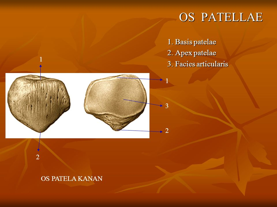 OS PATELLAE 1. Basis patelae 2. Apex patelae 3. Facies articularis 1 1