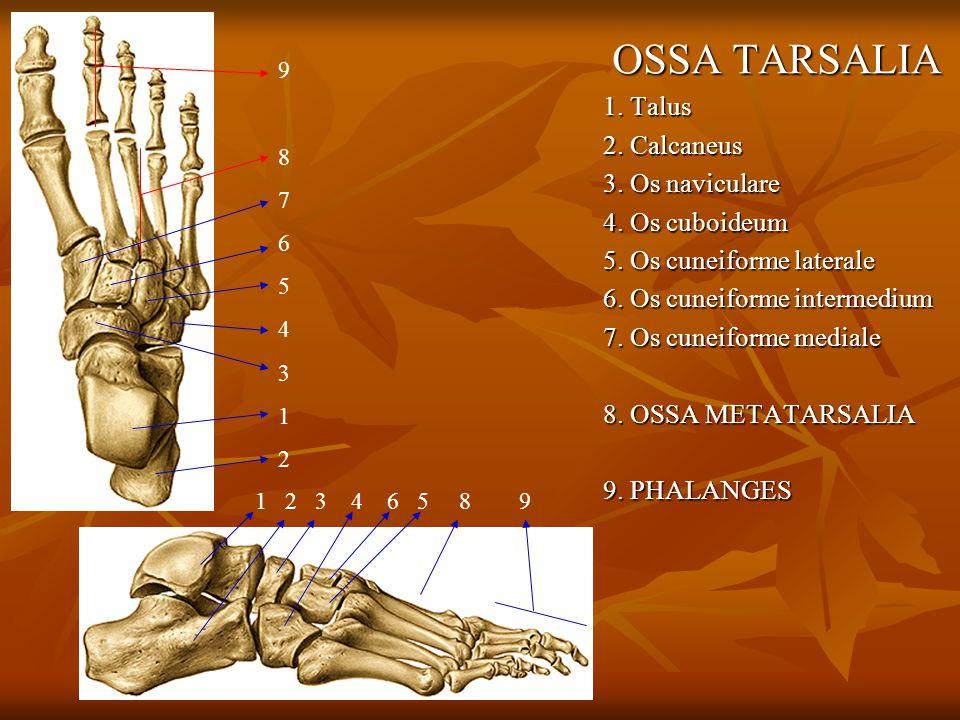 OSSA TARSALIA 1. Talus 2. Calcaneus 3. Os naviculare 4. Os cuboideum