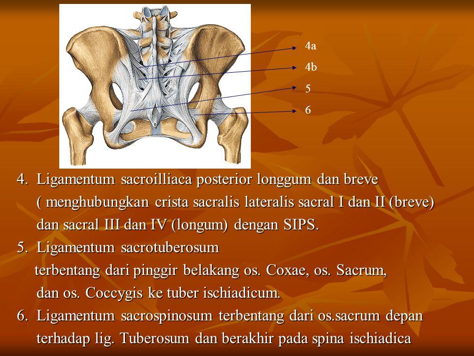 4. Ligamentum sacroilliaca posterior longgum dan breve