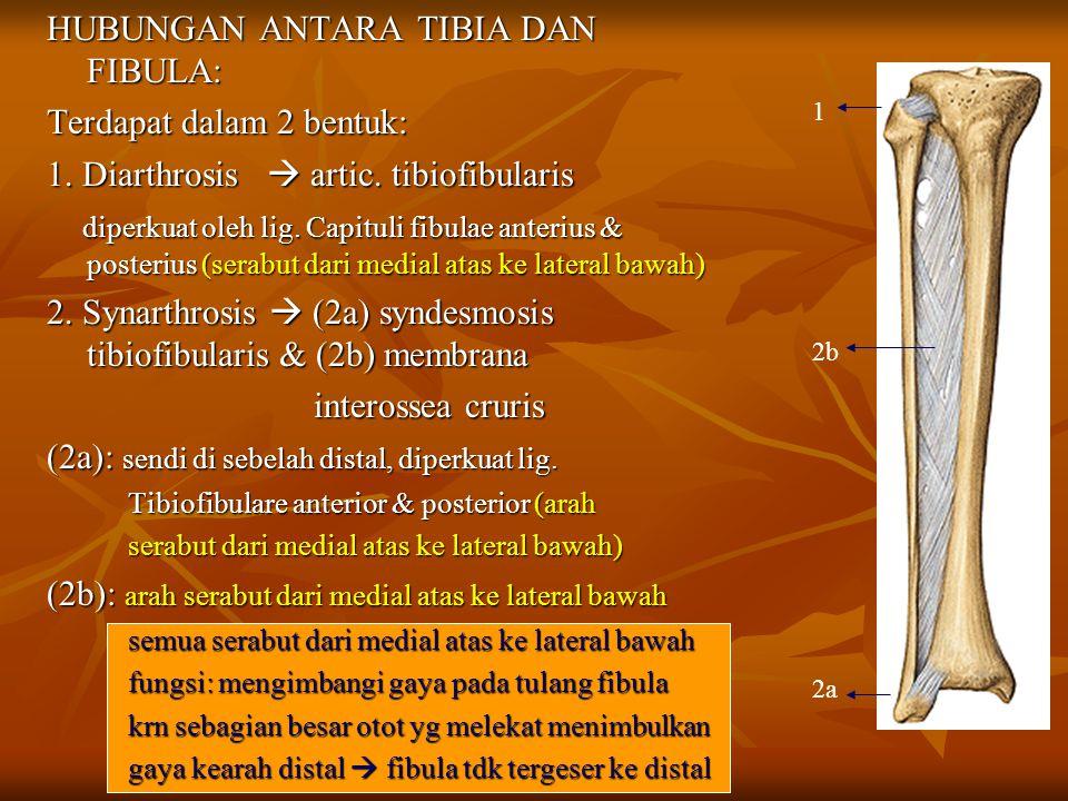 HUBUNGAN ANTARA TIBIA DAN FIBULA: Terdapat dalam 2 bentuk: