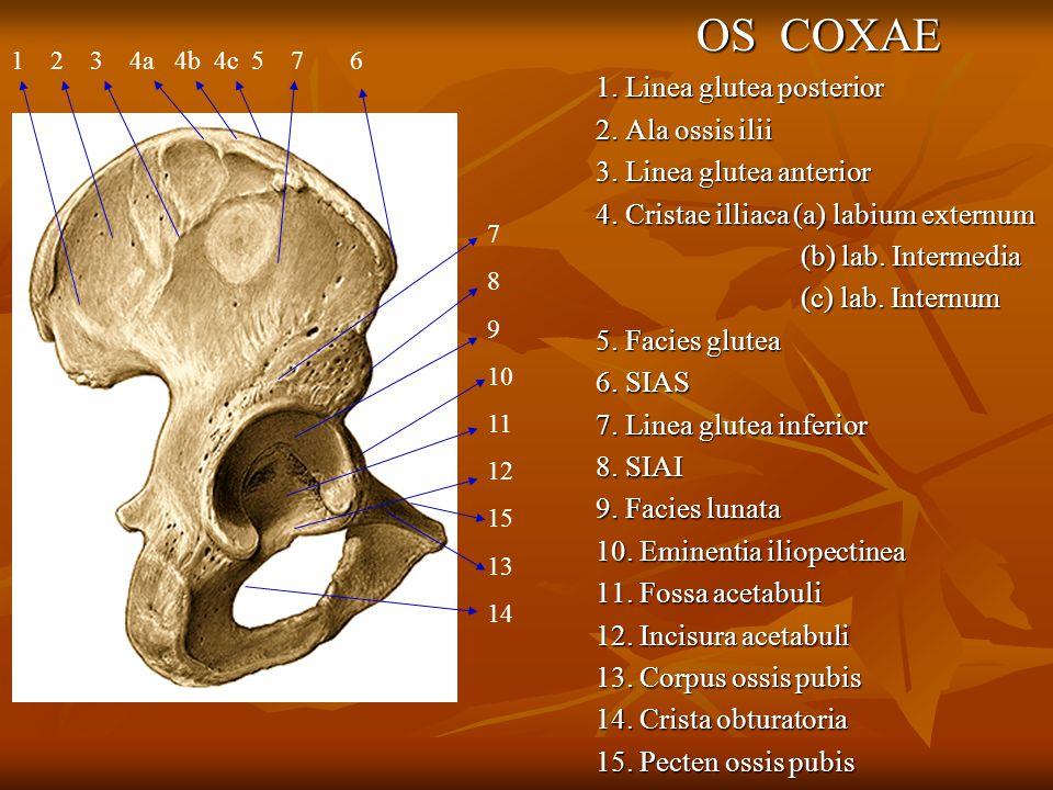 OS COXAE 1. Linea glutea posterior 2. Ala ossis ilii