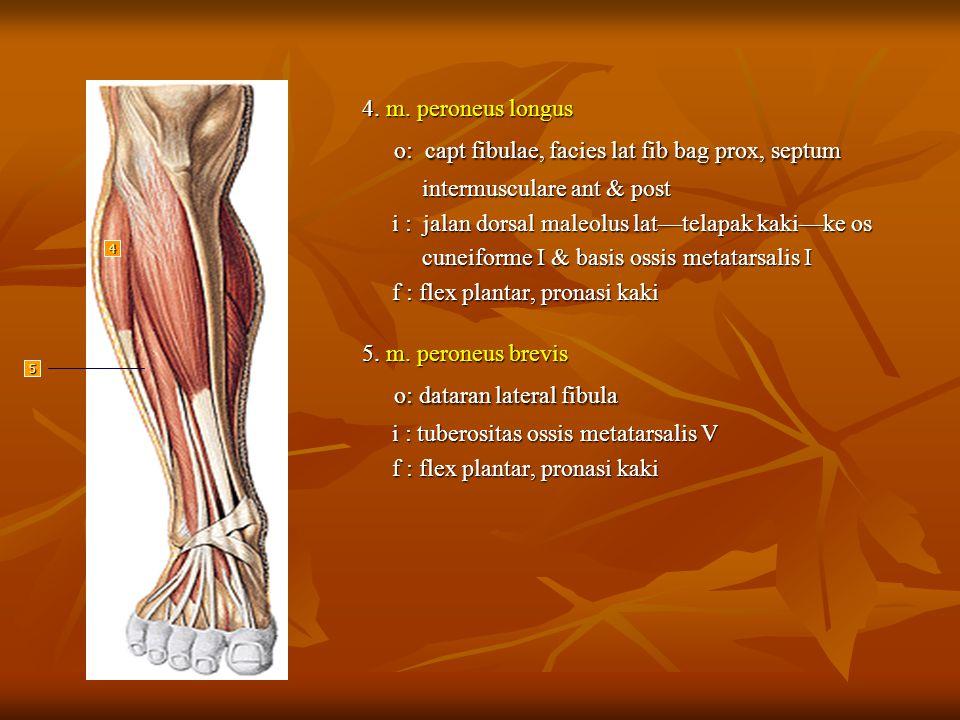 o: capt fibulae, facies lat fib bag prox, septum