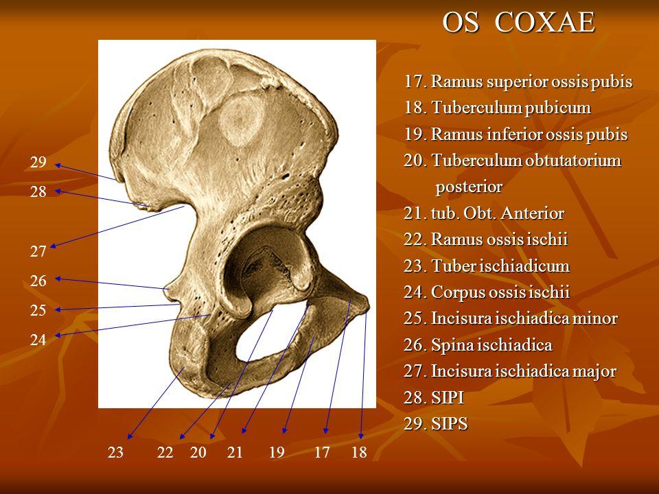 OS COXAE 17. Ramus superior ossis pubis 18. Tuberculum pubicum