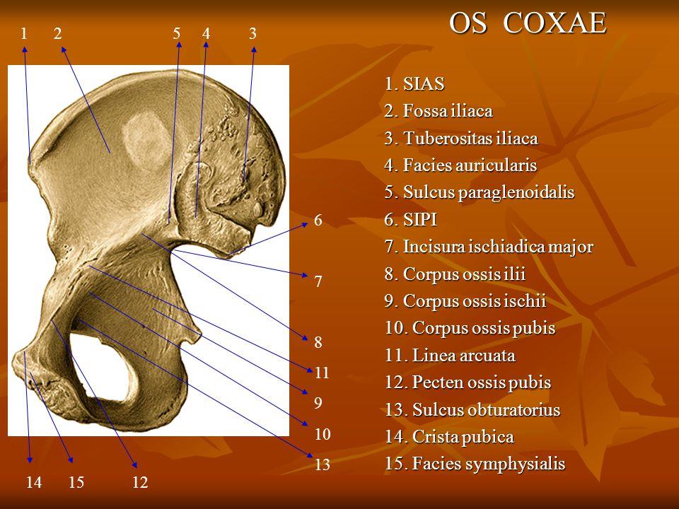 OS COXAE 1. SIAS 2. Fossa iliaca 3. Tuberositas iliaca