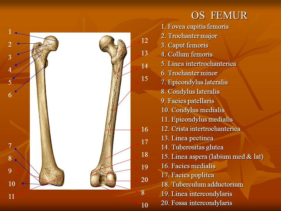 OS FEMUR 1. Fovea capitis femoris 2. Trochanter major 3. Caput femoris